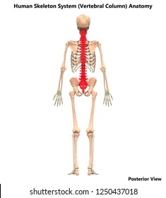 11 387 Skeletal Skeletal System Images Royalty Free Stock Photos
