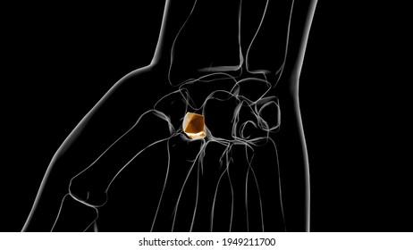Human Skeleton Trapezoid bone Anatomy 3D Illustration