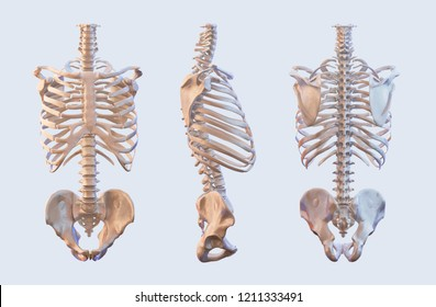 Human skeleton vertebrae anatomy. Spine, vertebral, rib cage, hip, sacrum  bones, lateral and anterior view. Clipping path included. 3D illustration