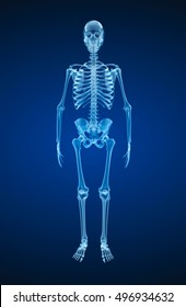 Human skeleton, xray view. Medically accurate 3d illustration .