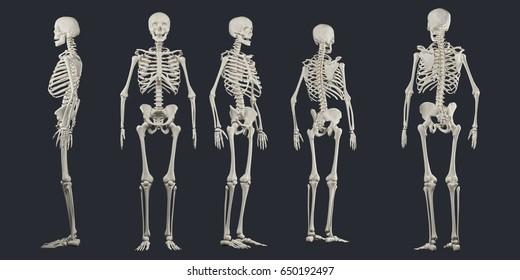 human skeletons, full body xray, 3d illustration.