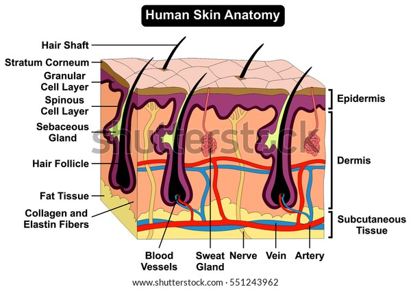 Human Skin Anatomy Cross Section Diagram Stock Illustration 551243962Shutterstock