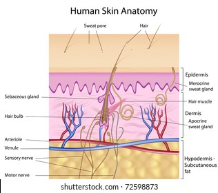 Human skin anatomy, detailed and accurate, labeled