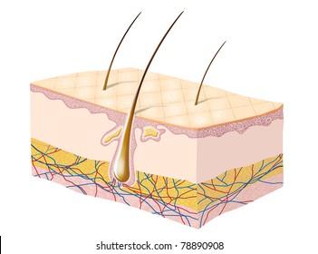 Human skin anatomy illustration.