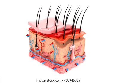 Human skin anatomy.3d render