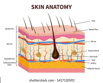 Human skin. Layered epidermis with hair follicle, sweat and sebaceous glands. Healthy skin anatomy medical illustration. Dermis and epidermis skin, hypodermis