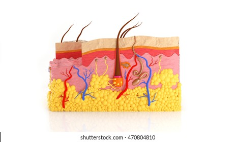 Human skin layers in a cut on a white background