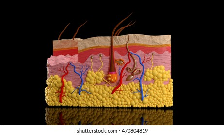 Human skin layers in a cut on a black background
