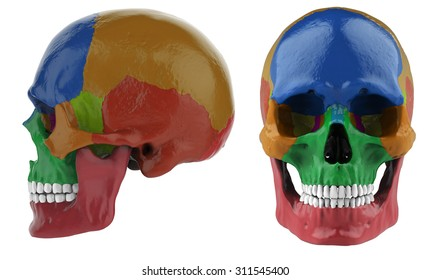 human skull anatomy, front and side view  3d render isolated on a white  background