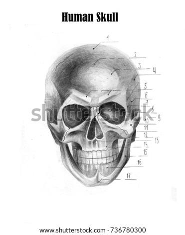 Human Skull Anatomy Medical Students Stock Illustration 736780300