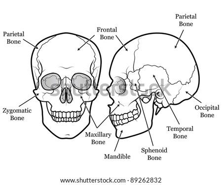 Human Skull Chart Stock Illustration