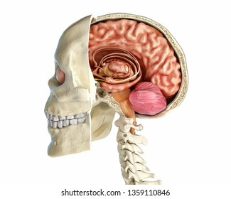 Human skull mid sagittal cross-section with brain. Side view on white background. 3d rendering.