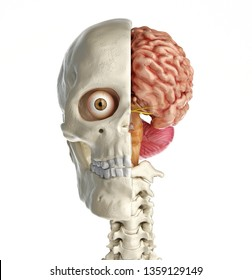 Human skull mid sagittal cross-section with brain. Front view on white background. 3d rendering.