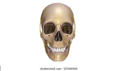 Human skull with nerves anterior view 3d illustration