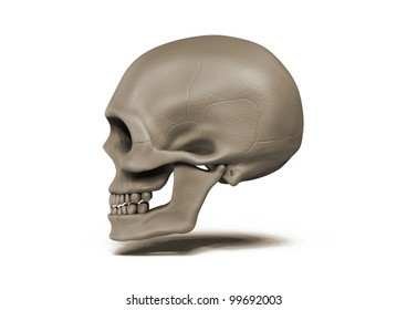 Human skull side view on white background