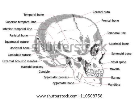 Human Skull Structure Stockillustration 110508758 – Shutterstock