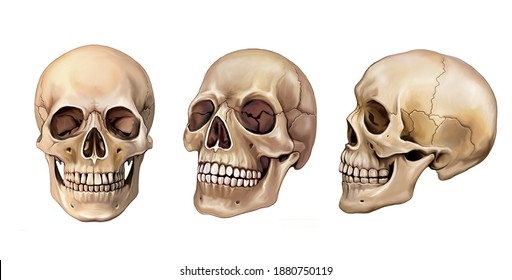 human skull in three perspectives, head anatomy, isolated image on white background