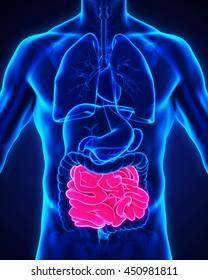Human Small Intestine Anatomy Illustration. 3D rendering