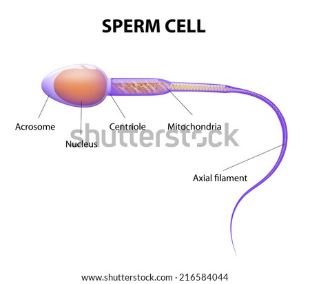 Human Sperm Cell Anatomy Stock Illustration 216584044 Shutterstock