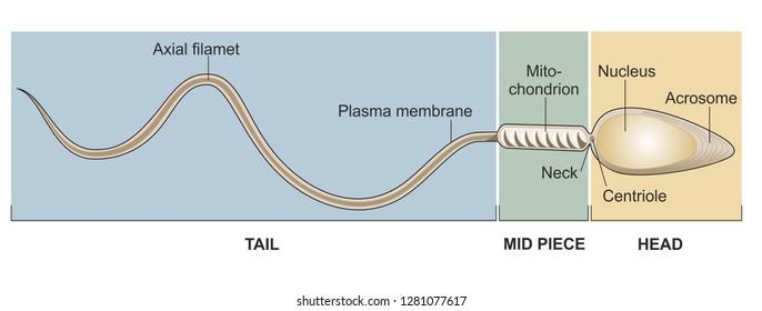 Possible acrosome human sperm