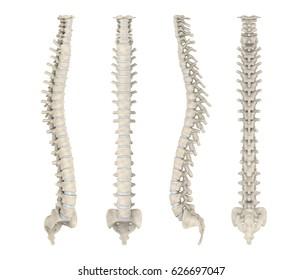 Human Spine Anatomy. 3D rendering