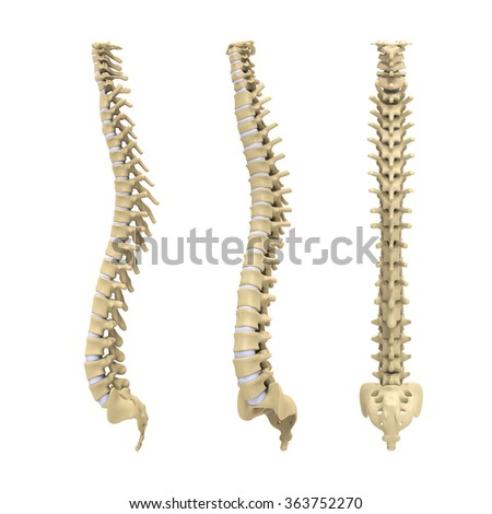 Human Spine Anatomy Stock Illustration 363752270 Shutterstock