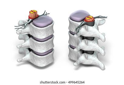 Human spine in details: Vertebra, bone marrow, disc and nerves. Isolated on white 3D image.