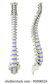 Human spine from side and back in 3D with intervertebral discs marked