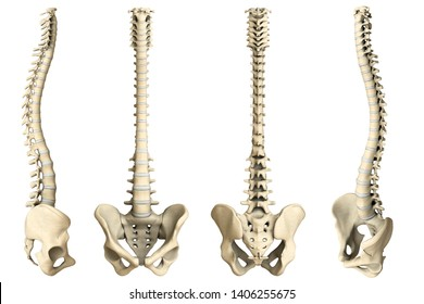 Human spine with vertebrae (cervical-, thoracic- and lumbar) vertebrae, discs and pelvis. Includes: Lateral, Anterior, Posterior (back), Anterior (front) rotated. 3D rendering