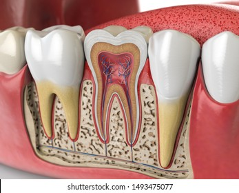 Human teeth anatomy. Cross section of  human tooth. 3d illustration