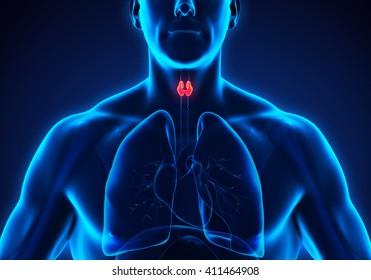 Human Thyroid Gland Anatomy. 3D rendering