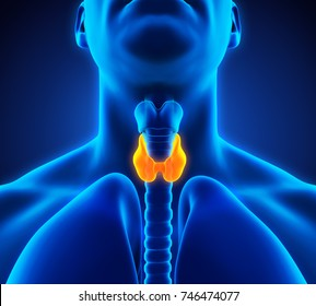Human Thyroid Gland Anatomy Illustration. 3D rendering