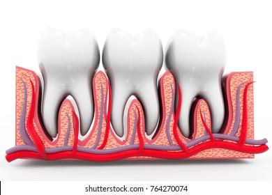 Human tooth anatomy. 3d render