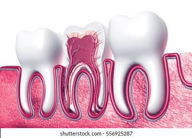 Human tooth. Cross section. 3d render