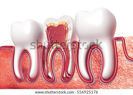 Human Tooth Cross Section 3 D Render Stock Illustration Royalty