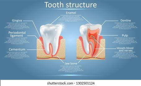 Human tooth structure diagram. Cross section scheme representing tooth layers enamel, dentine, pulp with blood vessels and nerves, cementum and structures around it. Dental anatomy concept.