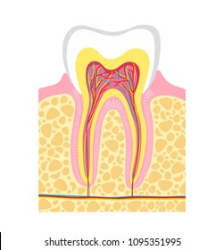 Human tooth structure. illustration human tooth anatomy. bitmap