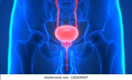 Human Urinary System Kidneys with Bladder Anatomy. 3D