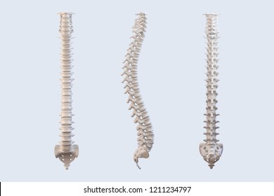 Human vertebrae anatomy. Spine vertebral bones, lateral and anterior view. Clipping path included. 3D illustration