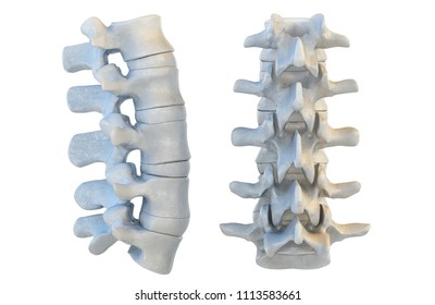 Human vertebrae anatomy. Vertebral bones, lateral and anterior view. 3D illustration
