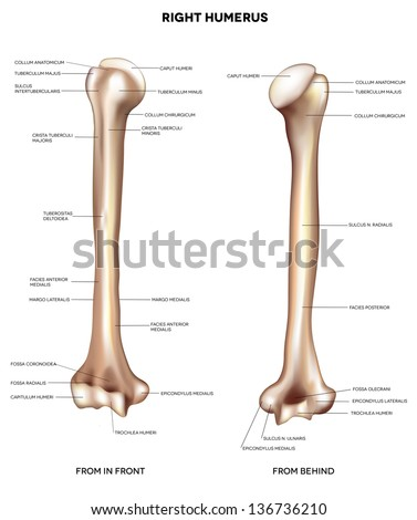 Humerus Upper Arm Bone Detailed Medical Stock Illustration 136736210 ...