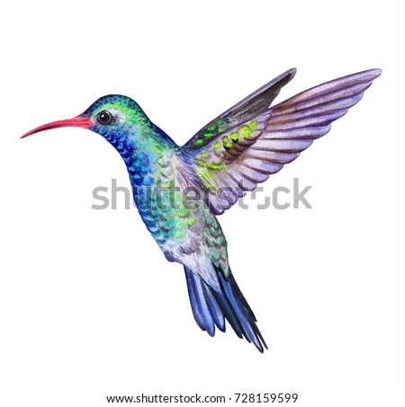 hummingbird bird isolated on white background stock illustration