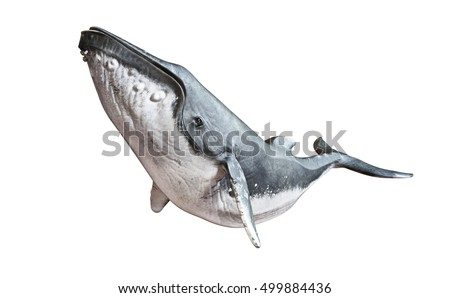 Humpback whale on an