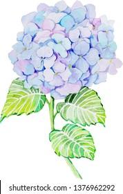Hydrangea blossom watercolor illustration