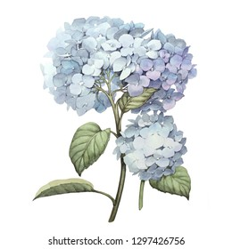 hydrangea; botanical.illustration. this picture may be used as background, decoration or object