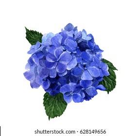 Hydrangea flower hand painted in watercolor