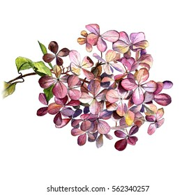 The hydrangea flower on a branch, watercolor Botanical sketch on a white background. Isolate.