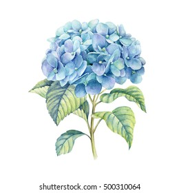 Hydrangea  watercolor illustration. Blue summer flower isolated on a white background.