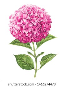Hydrangea with watercolor painting.Hand drawn on white background.Clipping path included. Illustration for various tasks such as greeting cards,love card. birthday cards, or different print jobs.