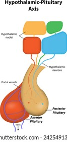 Hypothalamic Pituitary Axis Labeled